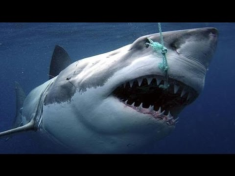 Images Of Sharks Sharks : Scaven...