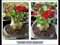 Chubby Rosy Adenium