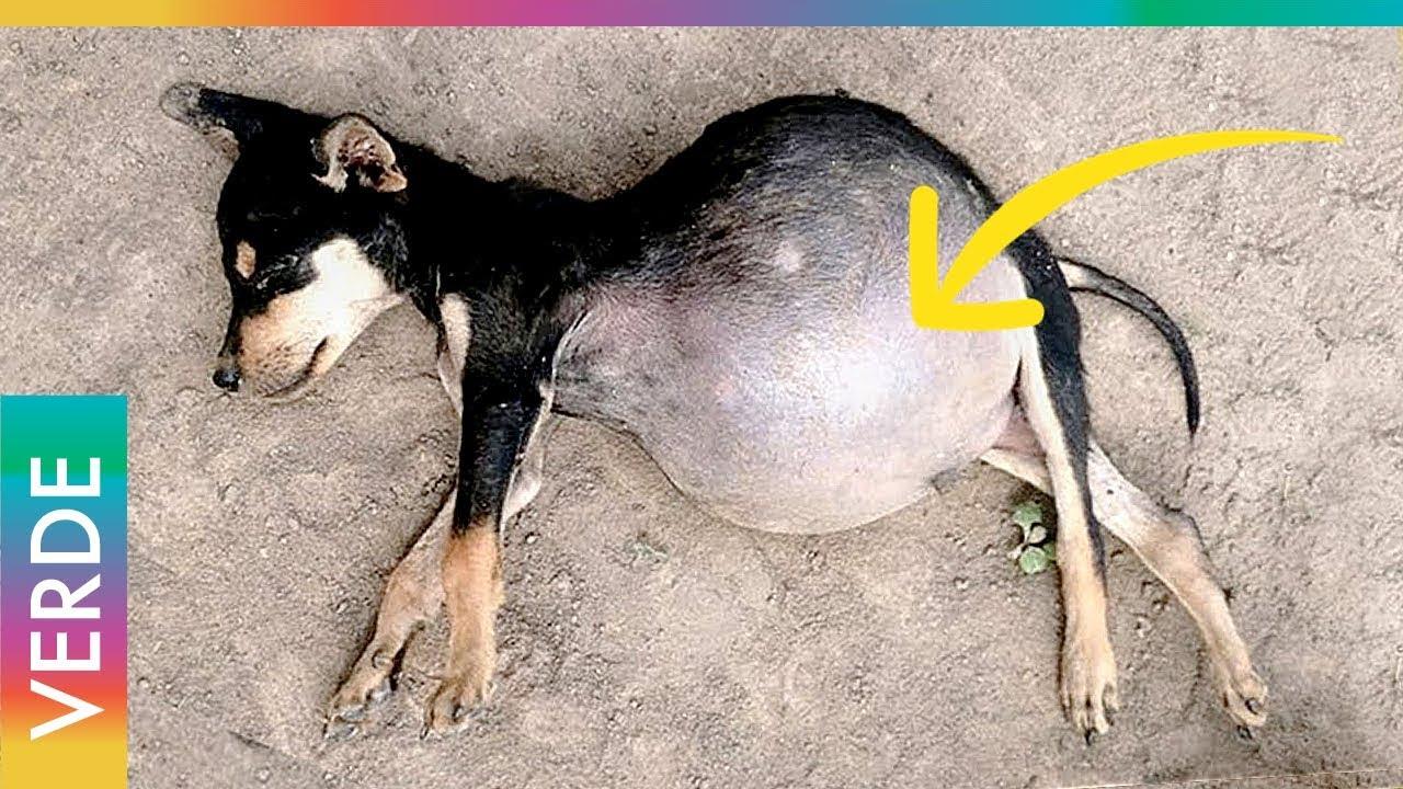 remedios caseros para inflamacion de estomago en perros