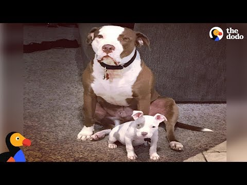 Rescue Pit Bull Is The Best Foster Dad to Puppies | The Dodo