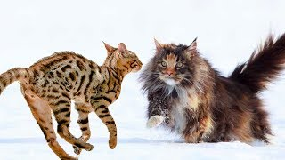 Bengal cat vs Maine coon cat - Differences Explained