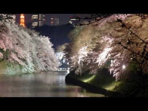 Tokyo's Cherry Blossoms along the Palace Moat | Kitanomaru P