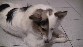#волк #хаски #animal #Wolf #dog Спасённый Хаски Стёпа