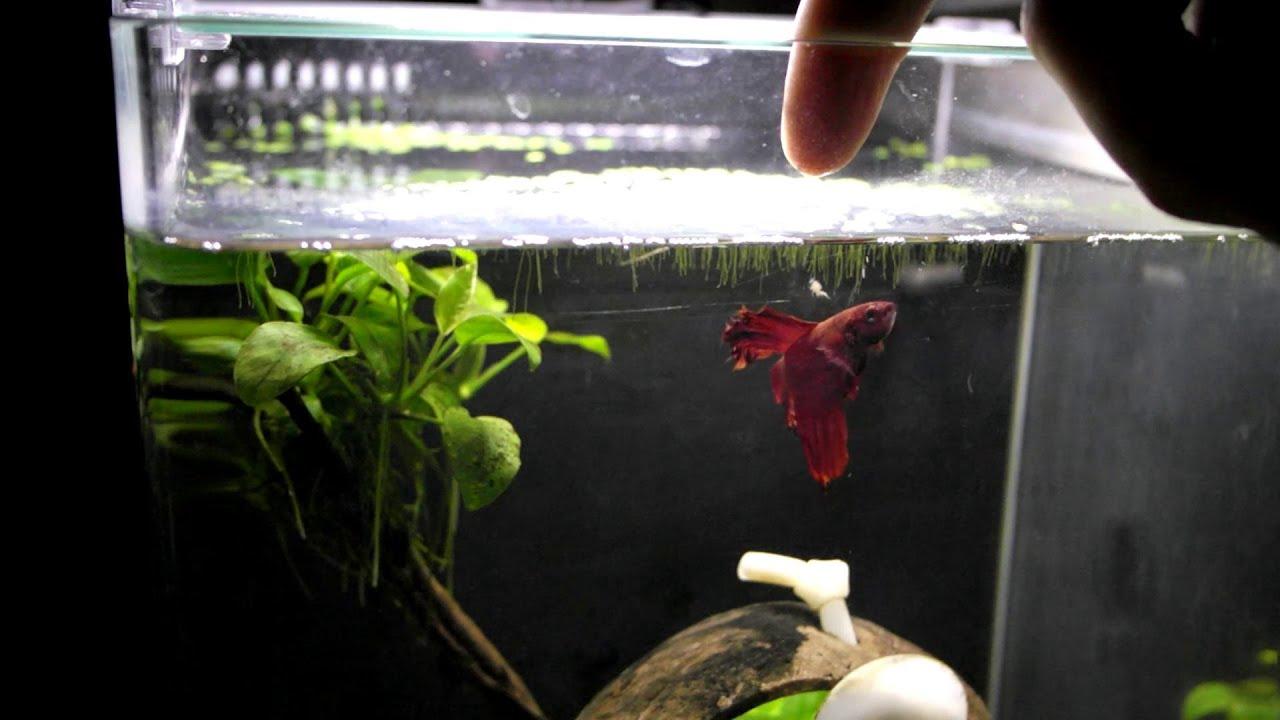 Freshwater fish jumping - Betta Fish Jumping For Food