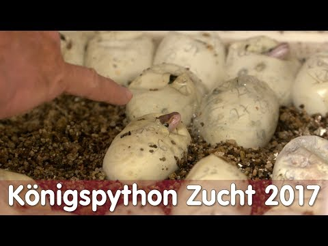 Reptil TV - Folge 105 - Königspython Zucht 2017