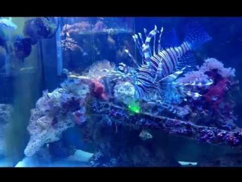 Lion Fish chasing laser pointer.
