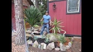 Big Yucca gloriosa Transplant / Canada