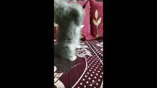 Tabby Persian cat kitten playing |grooming |spa|cat |petlove|kittencare