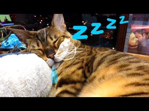 Snoring Bengal Cat