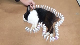 Waking A Sleeping Rabbit By Surrounding Him With Dominoes