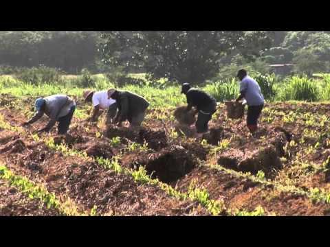 Ampayaj, un technique agro-ecologique de paillage des cultures d'igname by Jean-Marc Blazy.