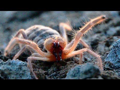Обыкновенная Сольпуга. Фаланга. Galeodes araneoides.