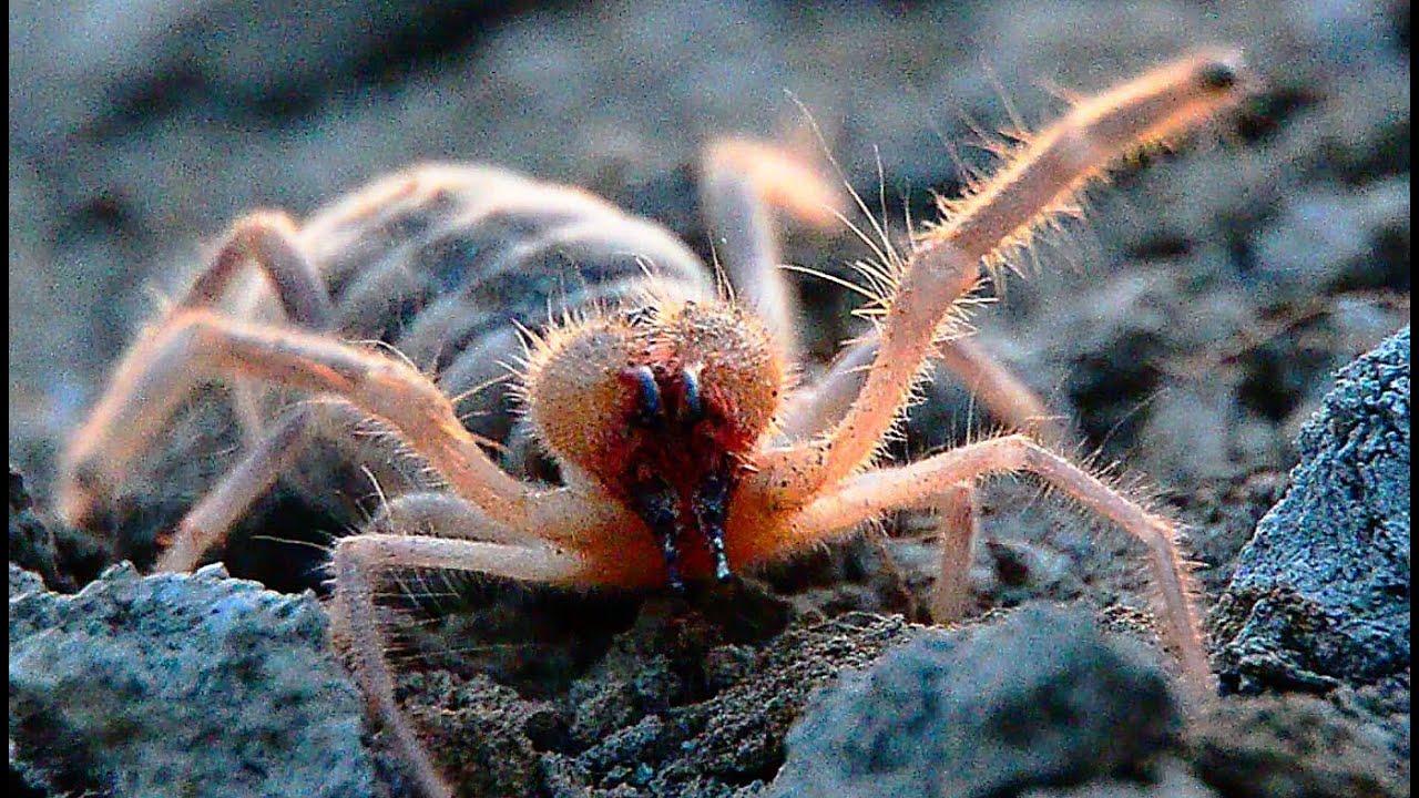 фаланга фото паук