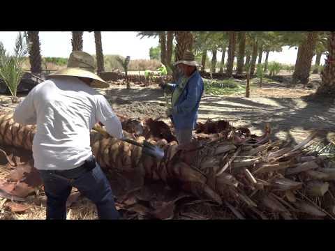 Medjool Date Palm Tree Harvesting