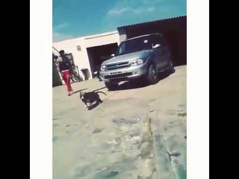Bully Dog Sale Ludhiana