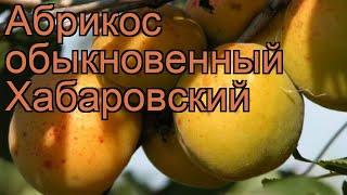 Абрикос обыкновенный Хабаровский 🌿 обзор: как сажать, саженцы абрикоса Хабаровский