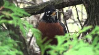 Return Of The Birds-Mediaeval Baebes