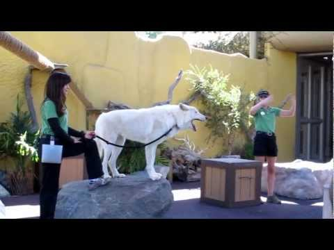 Wolf Howling at San Diego Zoo