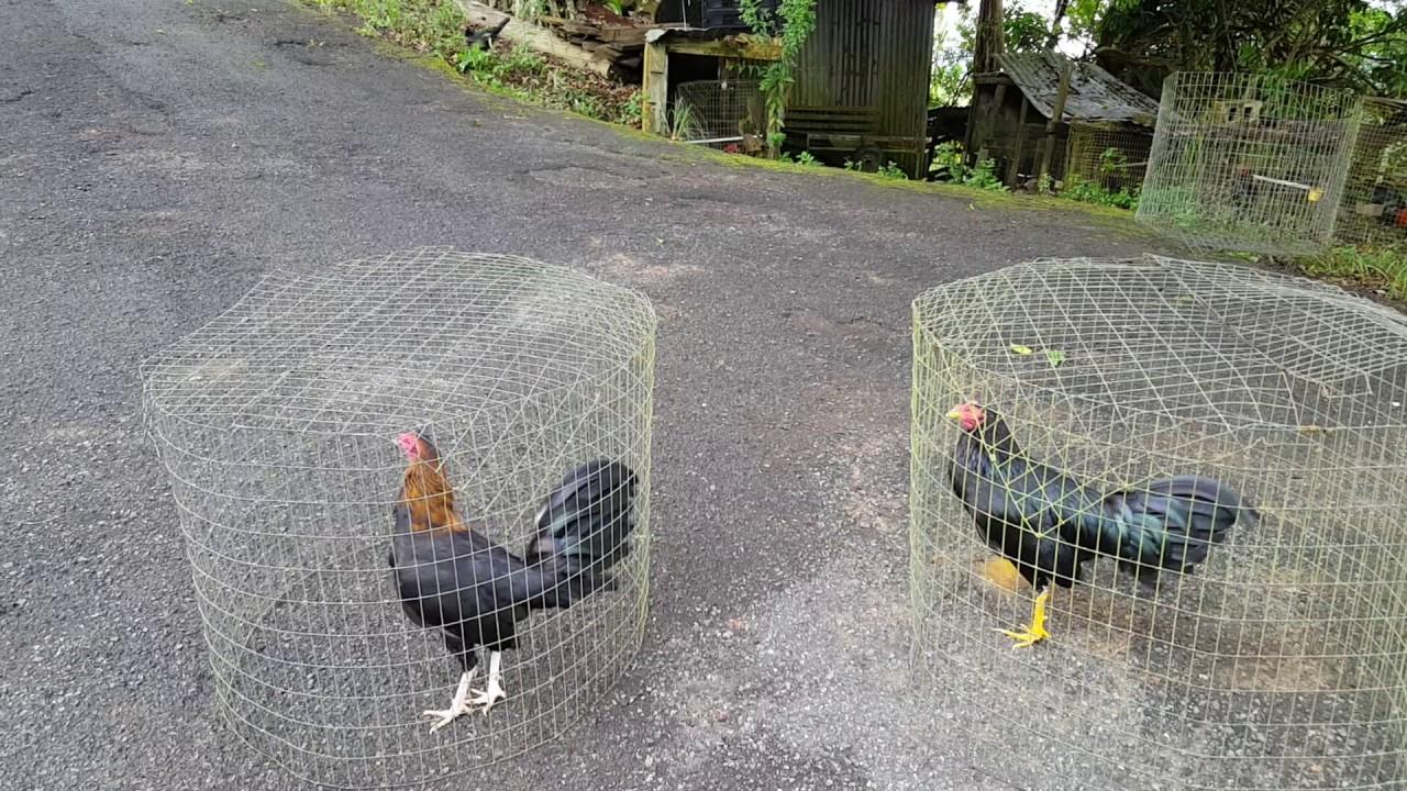 Gallos Gallinos De Peleas Puros De Puerto Rico Youtube