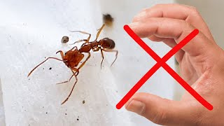 Gambar cover Mandíbulas Trampa!! Esta Hormiga es de otro planeta 😱 - Anochetus ghilianii