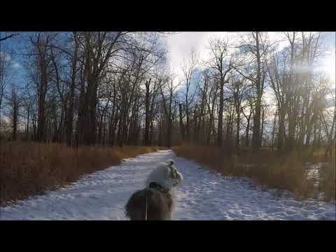 Monty the Old English Sheep Dog Kicksledding