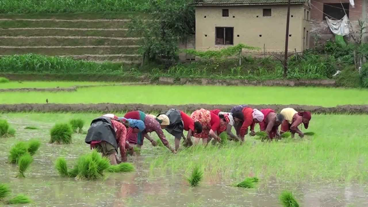 Cultivation of Rice in Nepal,  Part-1 .. HD
