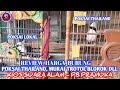 Review Harga Poksai Thailand Murai Trotol Blorok Dll Kios Suara Alam Pb Pramuka  Mp3 - Mp4 Download