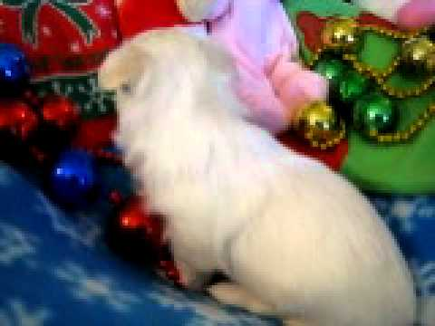Havanese puppies for sale MorningStar Valley Farm Snow Flake female