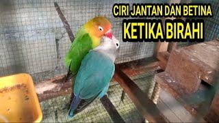 Download lagu CIRI-CIRI LOVEBIRD JANTAN DAN BETINA KETIKA SEDANG SALING LOLOH DAN BERTENGGER