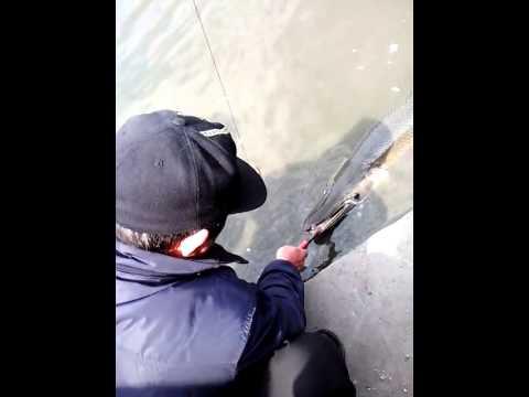 Hôm qua ra bờ ao rửa xe, thấy 1 ông câu được con cá mỏ vịt