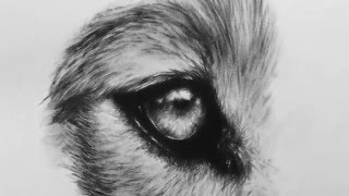 Time Lapse of a drawing of the eye of a wolf