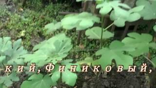 видео Купить саженцы инжира в Украине