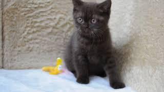 Амбассадор британский шоколадный кот