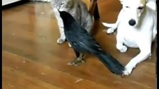 ворона кормит собаку и кота