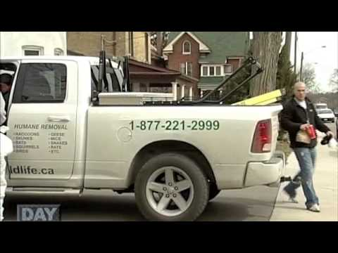 "All Wildlife Removal Inc. Featured on ""A Day On The Job"""
