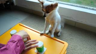 Dog Plays Shell Game Like A Human !!  MUST WATCH