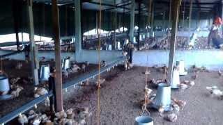Ferme pondeuse (Poultry) Delix jour 31