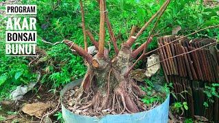 Belajar bonsai bunut program di lahan bonsai