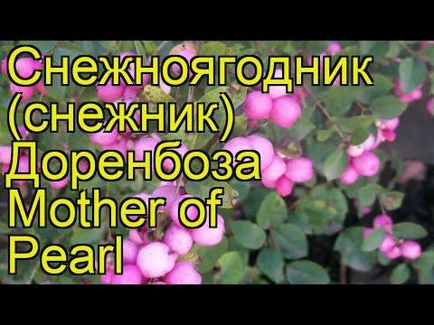 Снежноягодник доренбоза Мазер оф Перл. Краткий обзор symphoricarpos x doorenbosii Mother of Pearl
