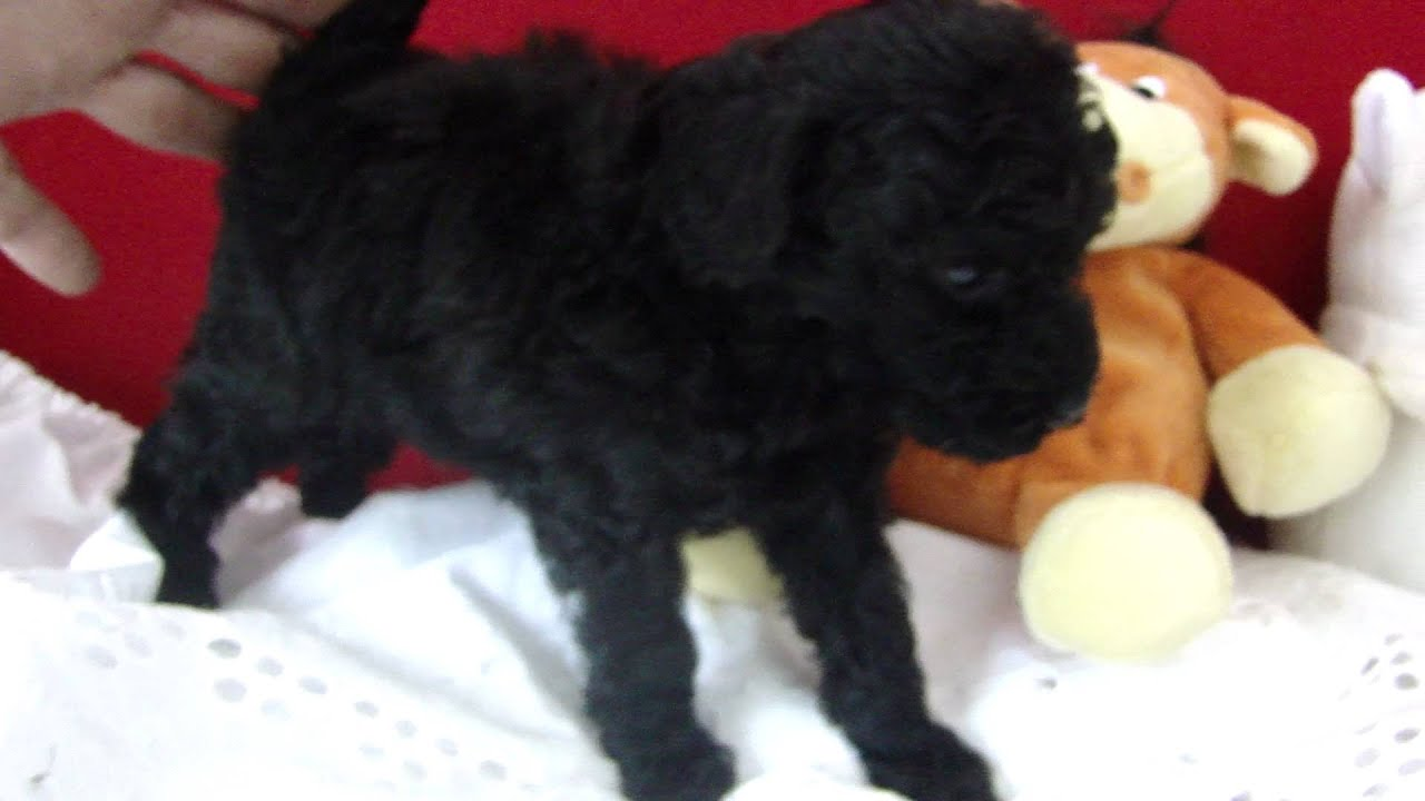 Image Result For Toy Poodle Don T