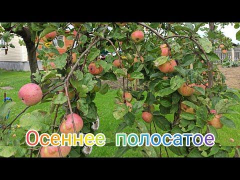 Яблоня Осеннее Полосатое. Яблоне около 50 лет.