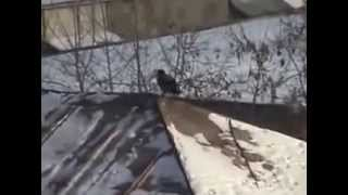 Bird Uses Lid To Go Sledding