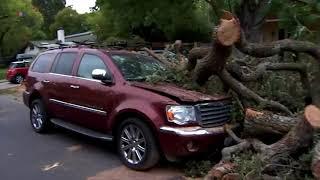 Дерево «Эмма» против автомобилей