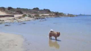 В память о моей собаке чау-чау...(Люська)