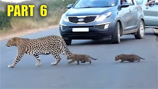 Los encuentros más increíbles con animales salvajes en la carretera, parte 6