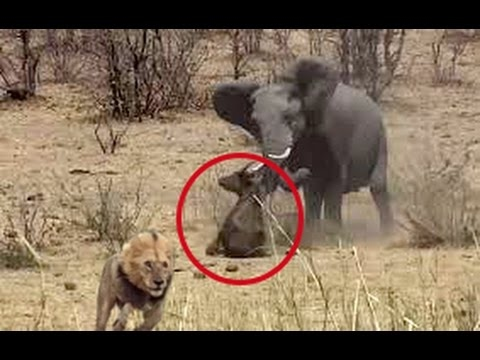 The elephant rescued a buffalo from a lion. This can be seen once in a lifetime / Very touching
