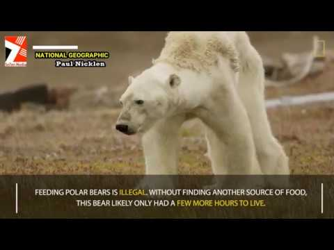 Heart-Wrenching Video Shows Starving Polar Bear on Iceless Land - NAT GEO - Official Video