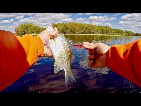 White Bass Fishing the Wolf River - Day 2 (Best White Bass Day This YEAR)!