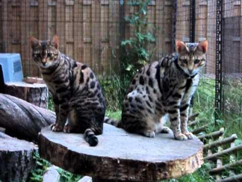 Poważne Savannah Cat F2 Servaldi - Hodowla egzotycznych kotów. Waldemar TN84