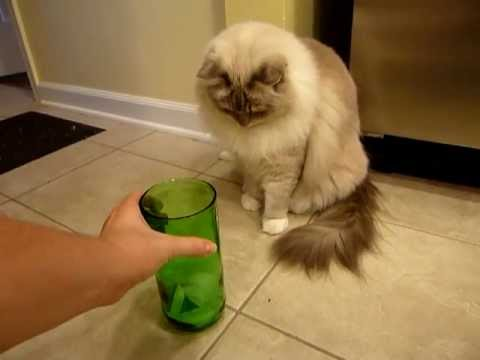 Does Your Cat Like Ice Cubes? Ragdoll Cats and Ice Cubes - ラグドール Floppycats